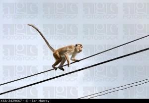 Toque macaque Macaca sinica monkey, Haputale, Badulla District, Uva Province, Sri Lanka, Asia