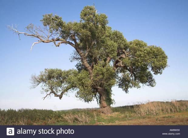 Native English Black Poplar tree Populus nigra, Butley, Suffolk, England. Image shot 09/2007. Exact date unknown.