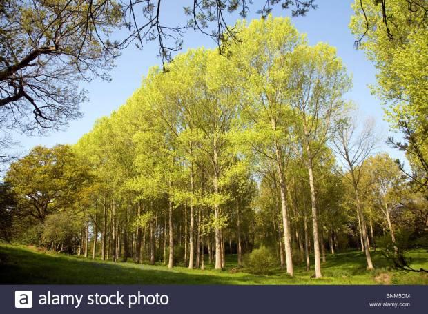 Populus tremula European aspen trees growing in wet land Suffolk