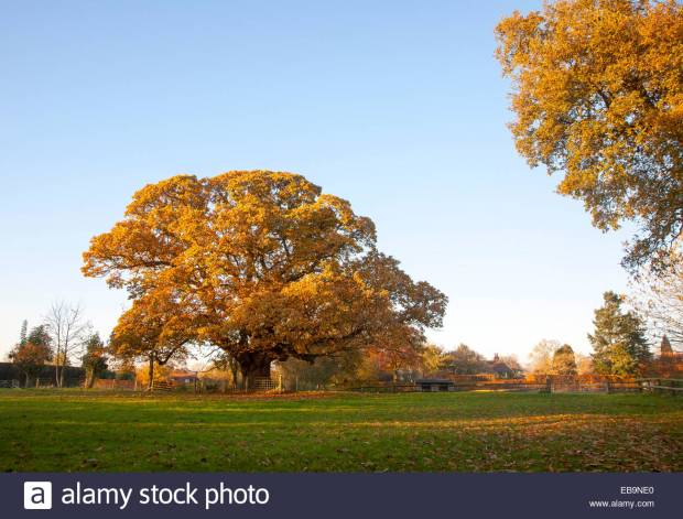 Orange brown sweet chestnut Castanea sativa tree autumn leaves Woodborough, Wiltshire, England, UK